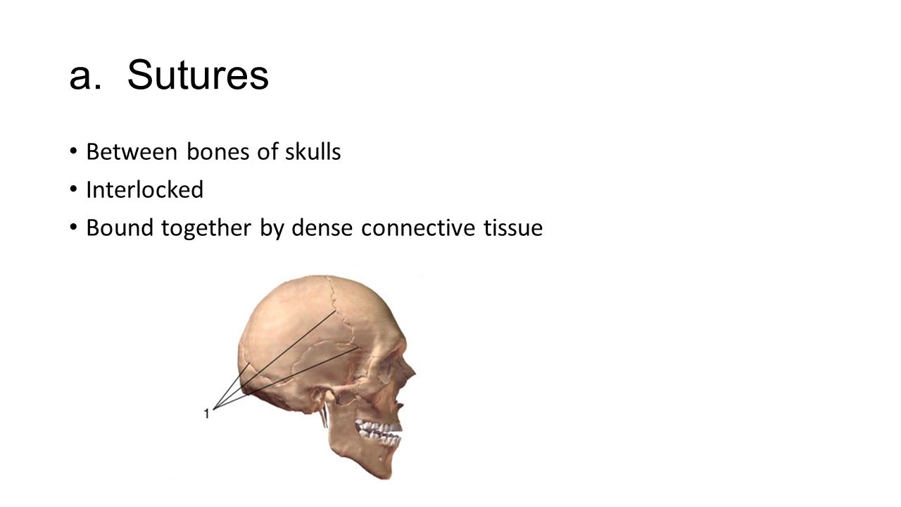 a. Sutures Between bones of skulls Interlocked