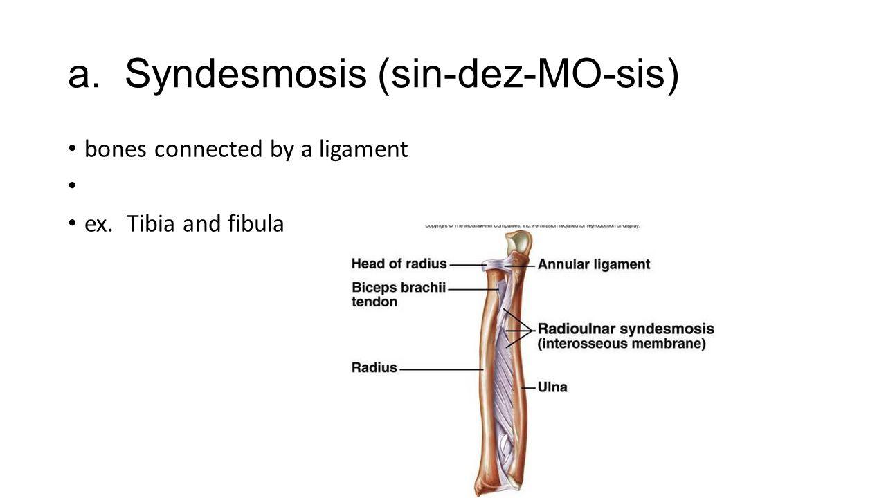 a. Syndesmosis (sin-dez-MO-sis)