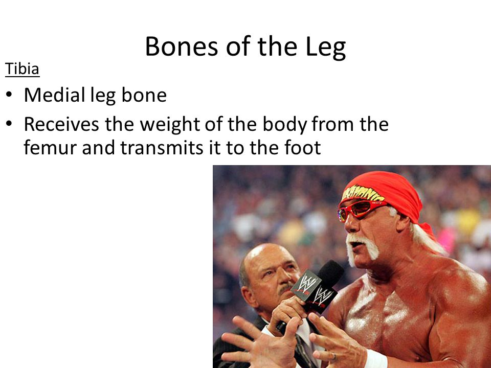Bones of the Leg Medial leg bone