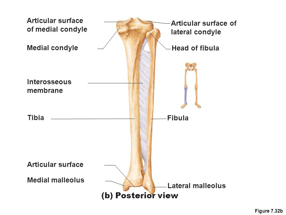 (b) Posterior view Articular surface Articular surface of
