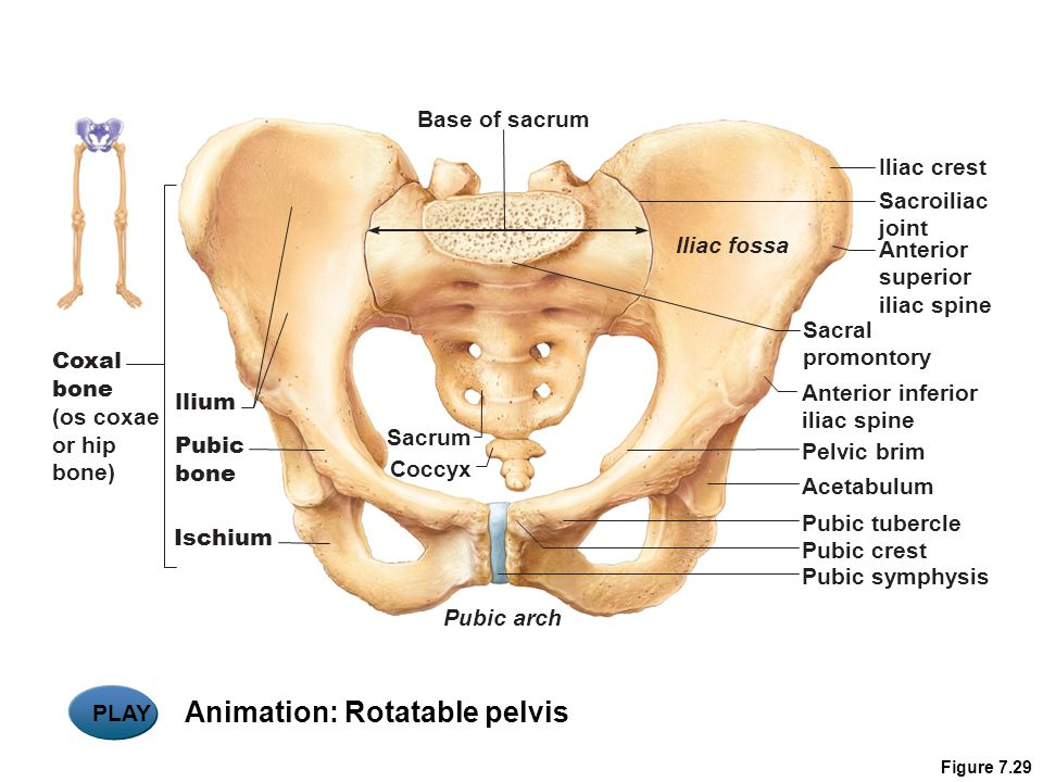 Animation: Rotatable pelvis