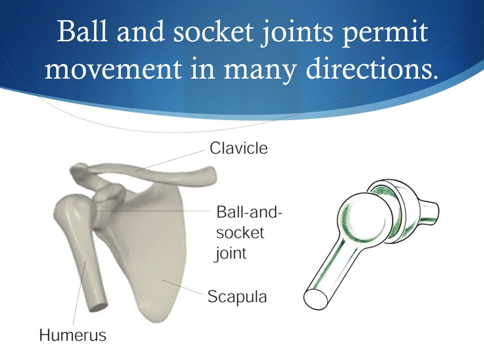 Ball and socket joints permit movement in many directions.