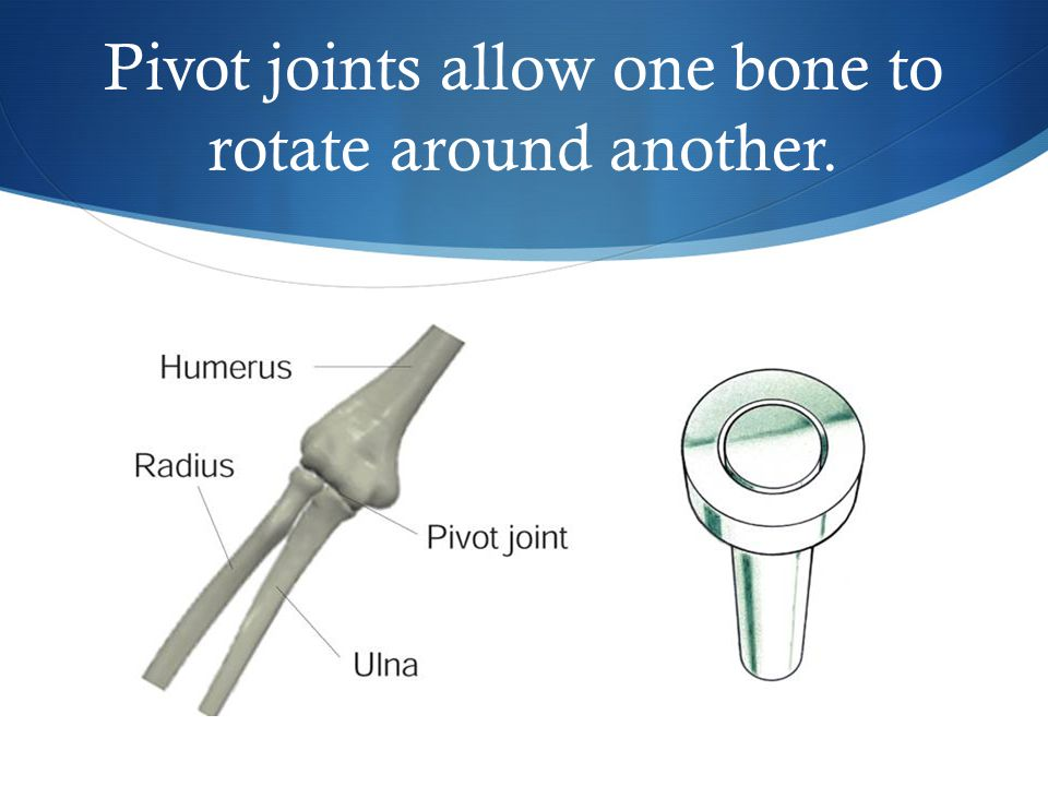 Pivot joints allow one bone to rotate around another.
