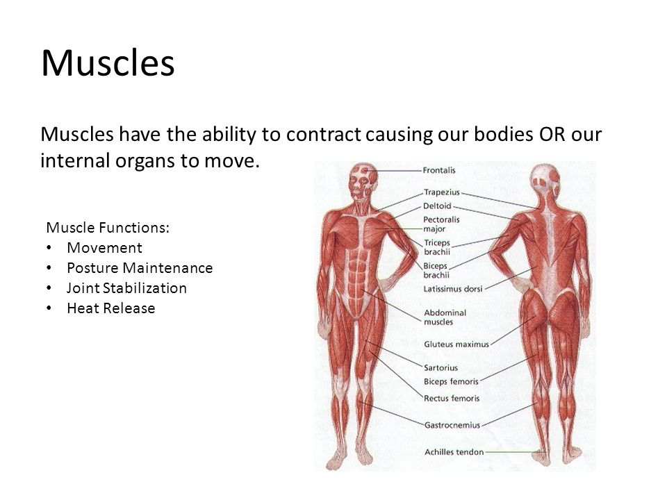 Muscles Muscles have the ability to contract causing our bodies OR our internal organs to move. Muscle Functions:
