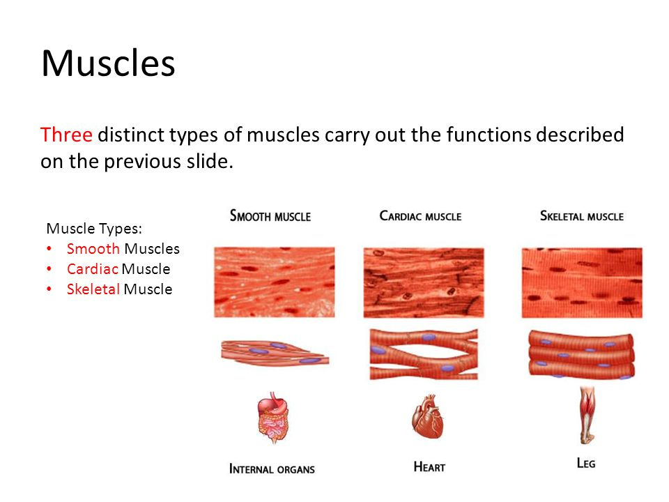Muscles Three distinct types of muscles carry out the functions described on the previous slide. Muscle Types: