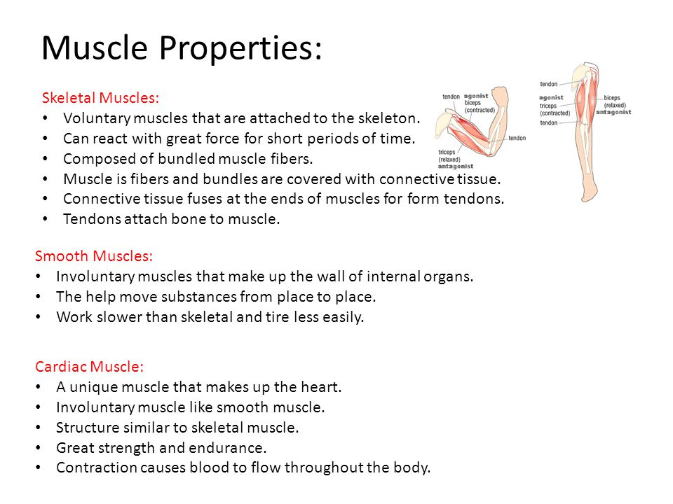 Muscle Properties: Skeletal Muscles:
