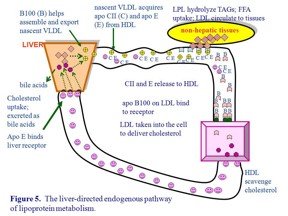 nascent VLDL acquires apo CII (C) and apo E (E) from HDL