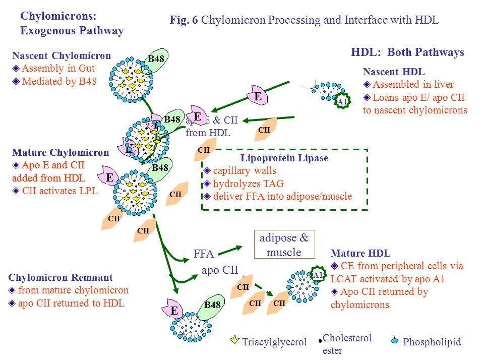 Fig. 6 Chylomicron Processing and Interface with HDL
