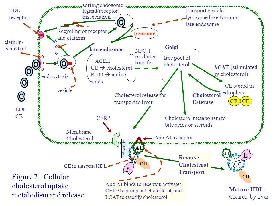 Figure 7. Cellular cholesterol uptake, metabolism and release.