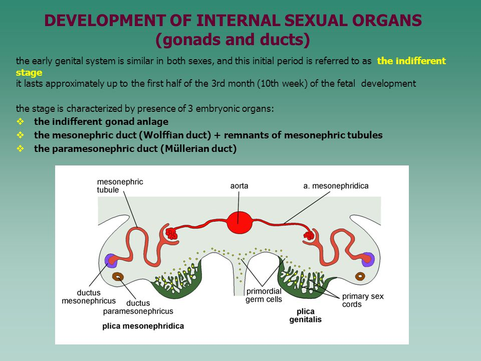 DEVELOPMENT OF INTERNAL SEXUAL ORGANS (gonads and ducts)