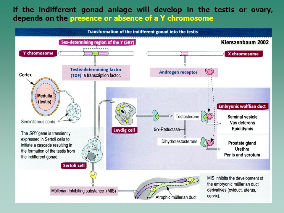 if the indifferent gonad anlage will develop in the testis or ovary, depends on the presence or absence of a Y chromosome