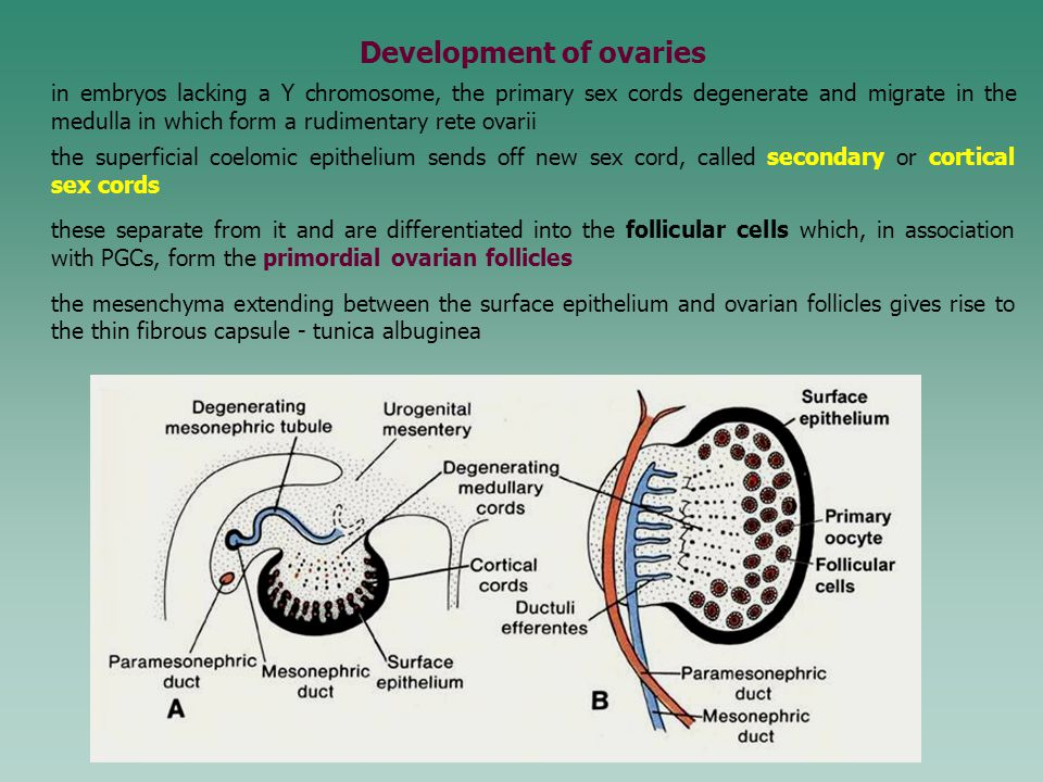 Development of ovaries