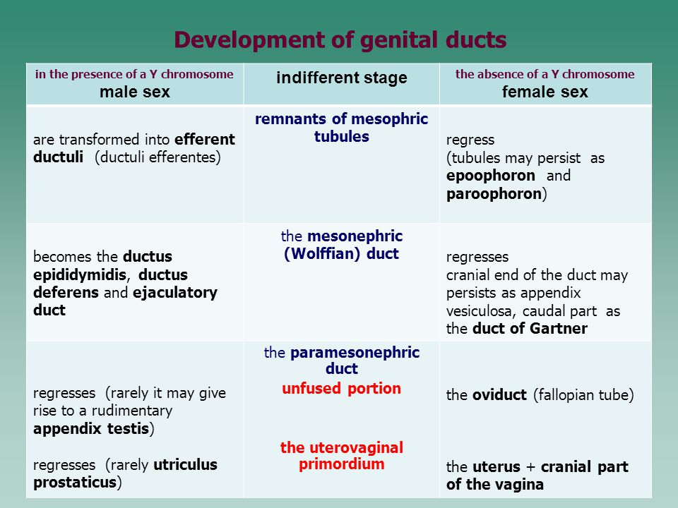 Development of genital ducts