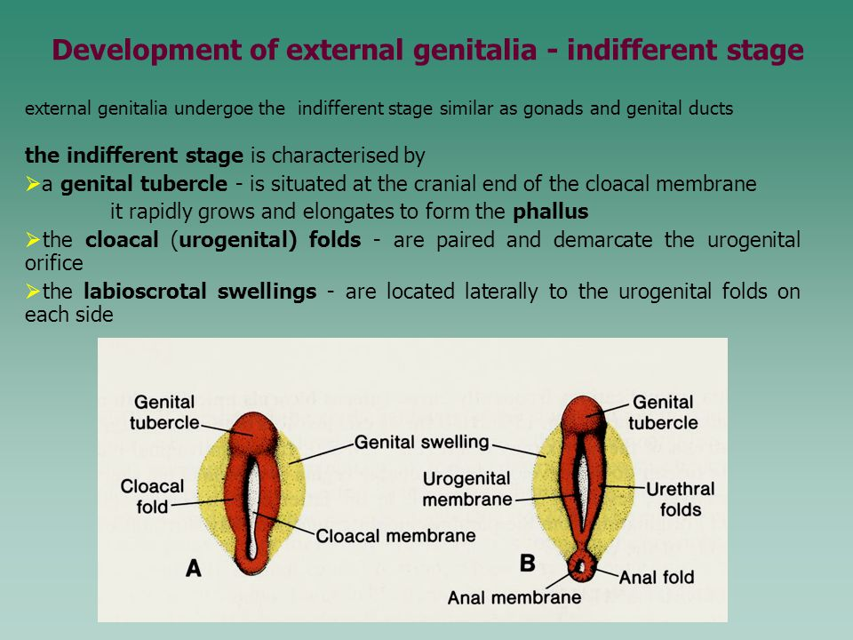 Development of external genitalia - indifferent stage