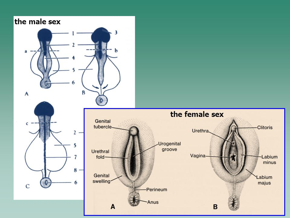 the male sex the female sex