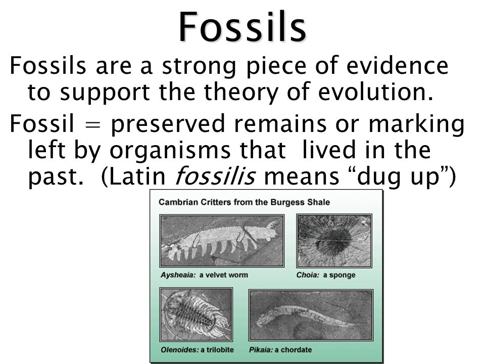 Fossils Fossils are a strong piece of evidence to support the theory of evolution.