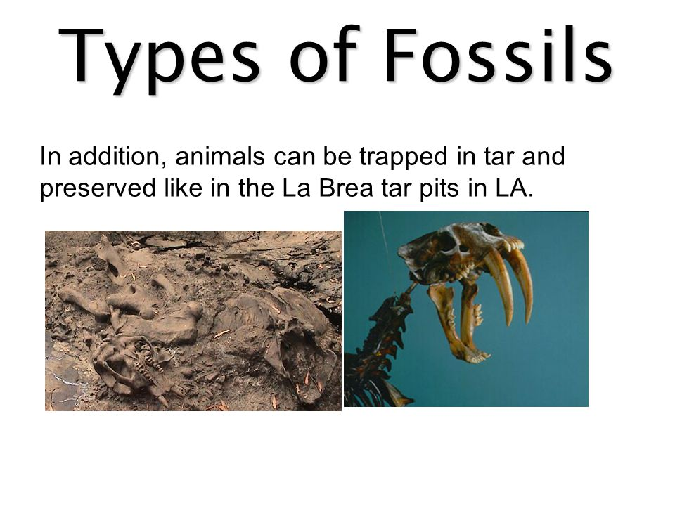 Types of Fossils In addition, animals can be trapped in tar and preserved like in the La Brea tar pits in LA.