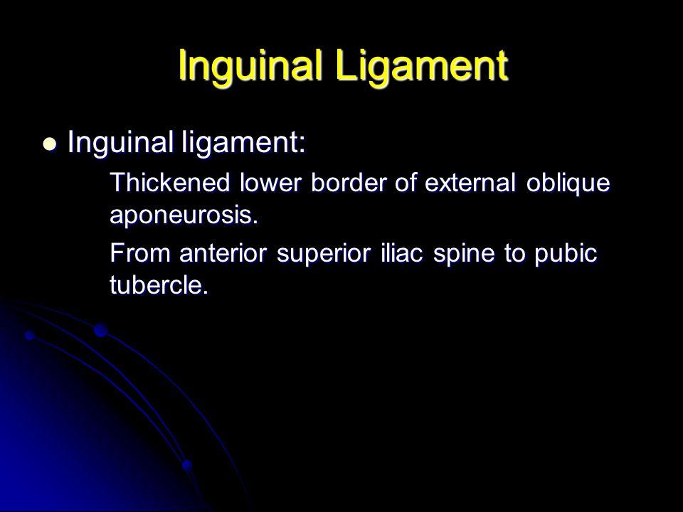 Inguinal Ligament Inguinal ligament: