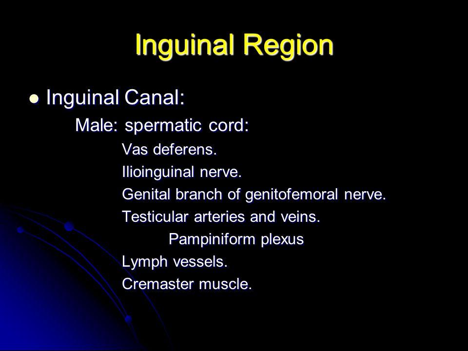 Inguinal Region Inguinal Canal: Male: spermatic cord: Vas deferens.
