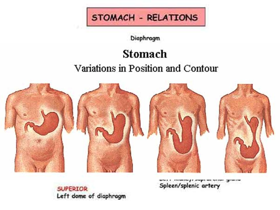 Stomach shape: hook, spindle, bull horn position: Th11-L3