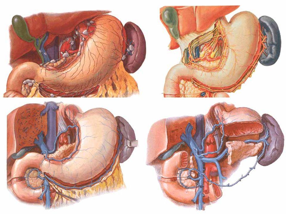 Stomach – other supply Veins: correlate to arteries + v. prepylorica  v. portae.