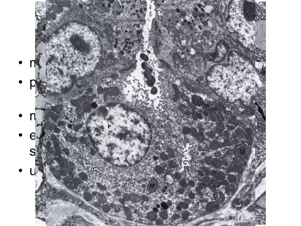Gastric cells main cells - pepsinogen, lipase