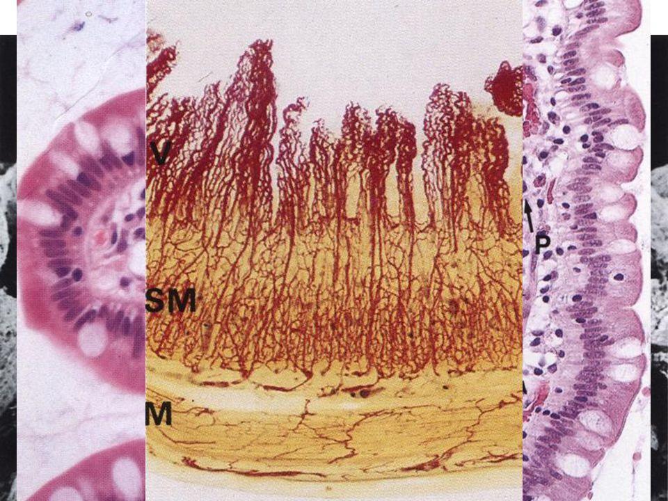 Villi intestinales digit- to leaf-formed elements