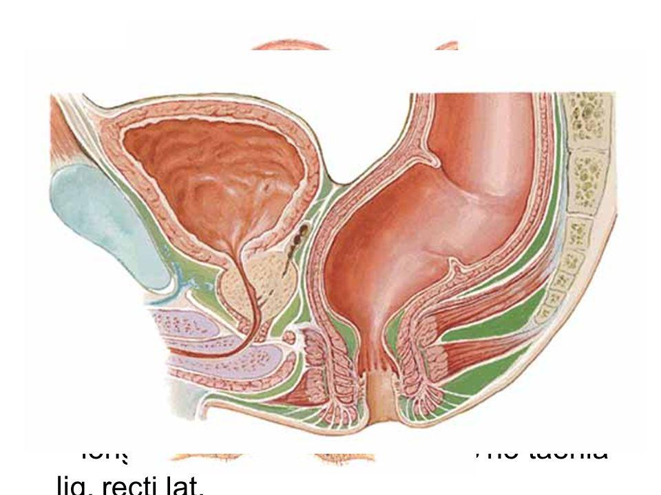 Rectum description: ampulla, flexura sacralis et laterales (superodextra lat., intermedisinistra lat., inferodextra lat.),