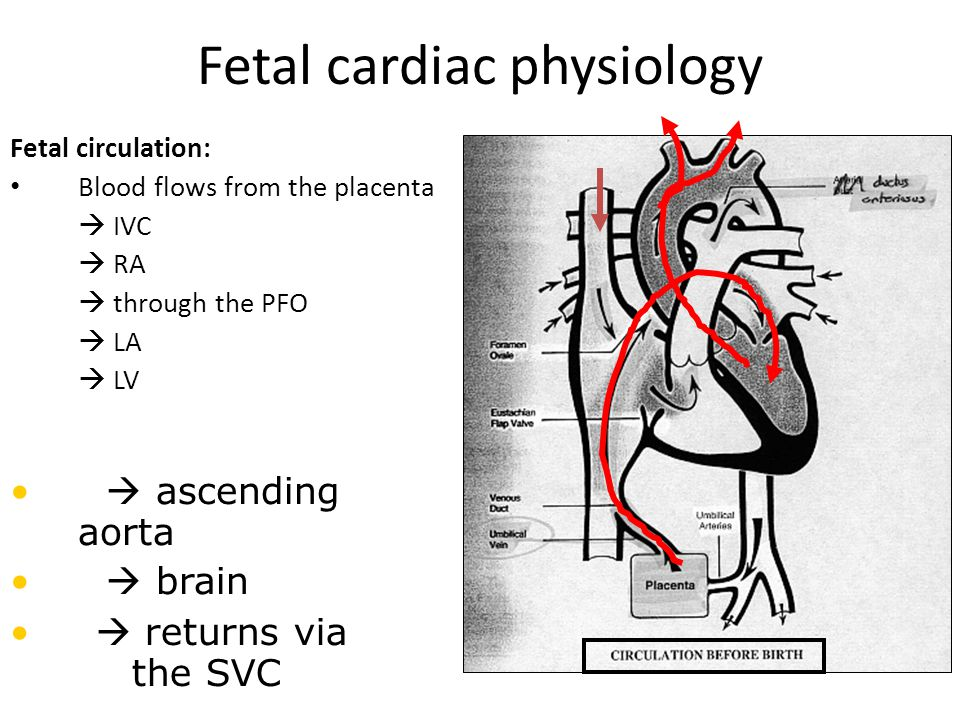 Fetal cardiac physiology