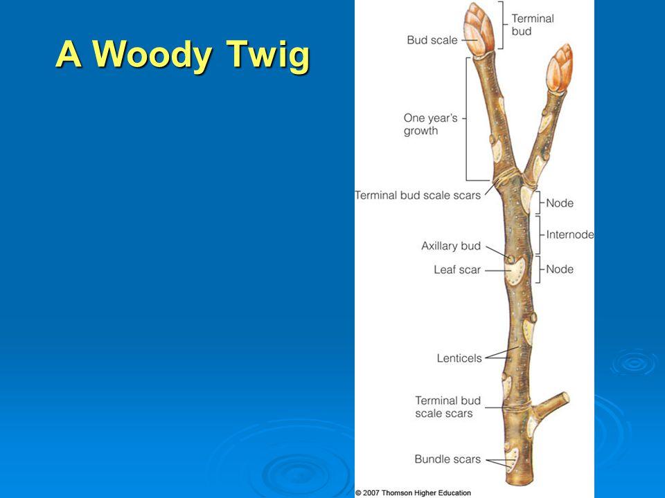 A Woody Twig