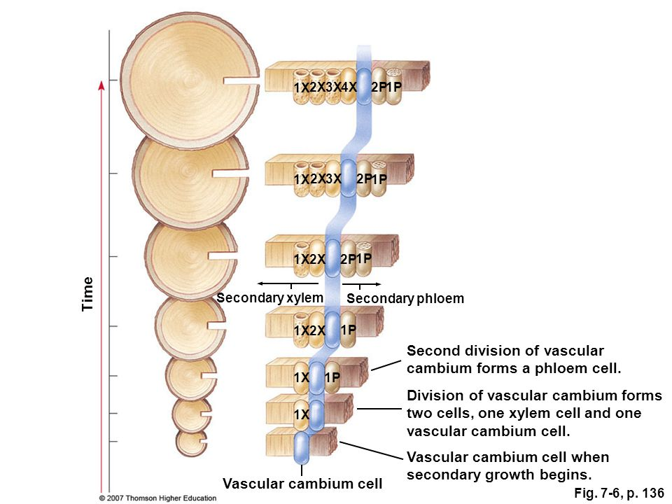Second division of vascular cambium forms a phloem cell.