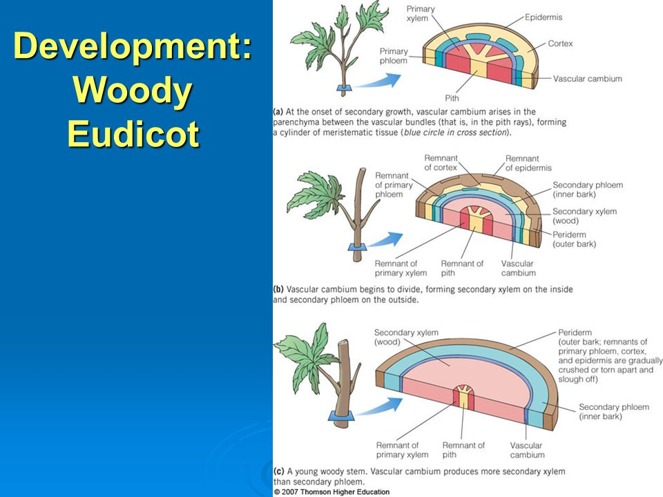 Development: Woody Eudicot