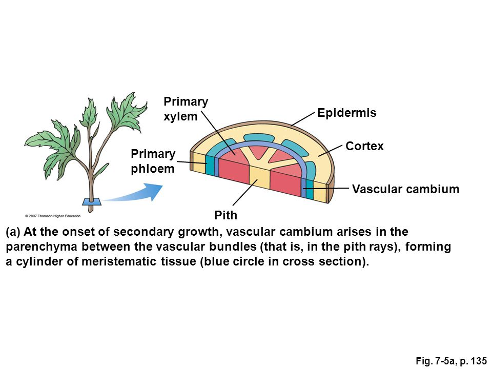 (a) At the onset of secondary growth, vascular cambium arises in the