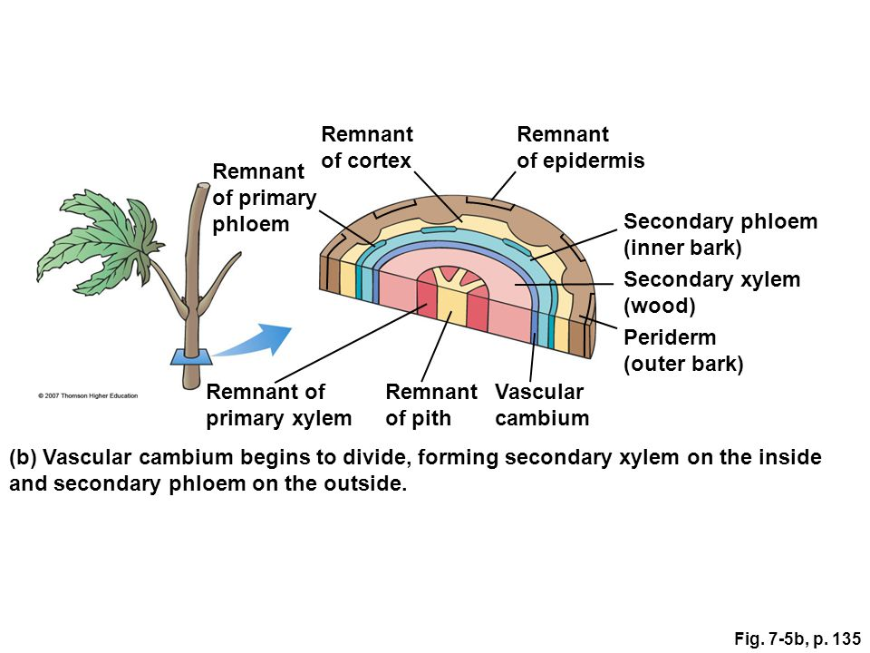 and secondary phloem on the outside.