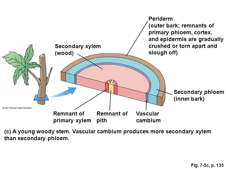 (outer bark; remnants of primary phloem, cortex,