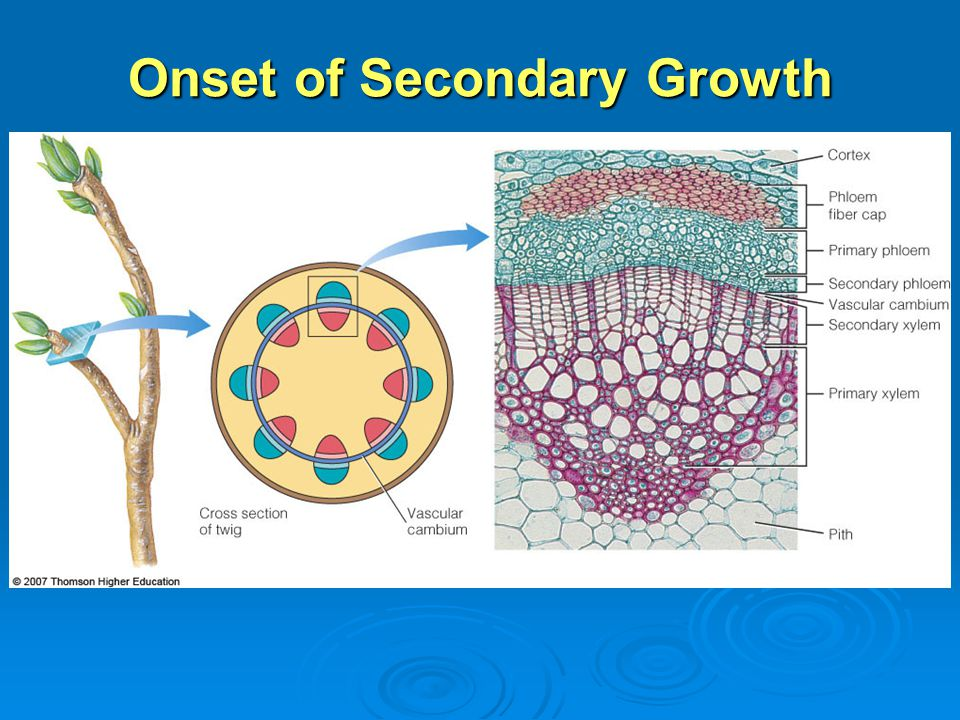 Onset of Secondary Growth