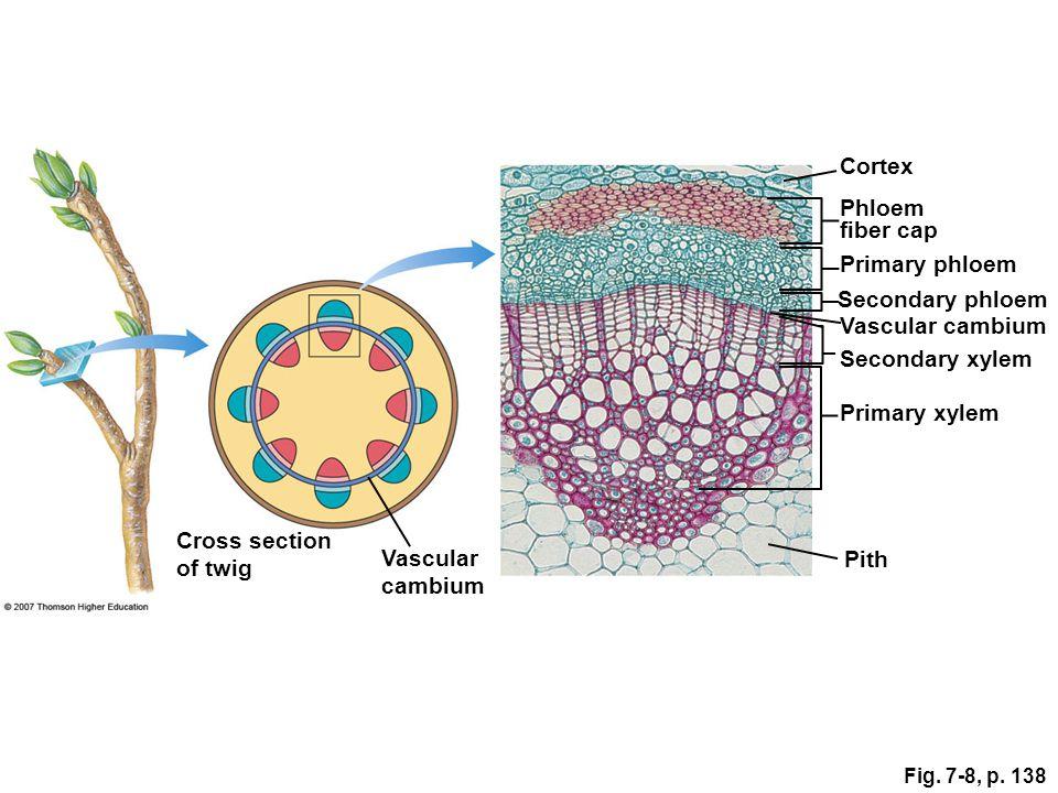 Cortex Phloem fiber cap Primary phloem Secondary phloem