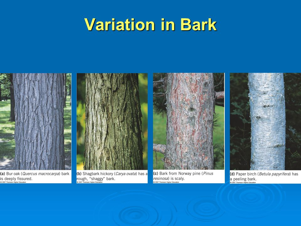 Variation in Bark