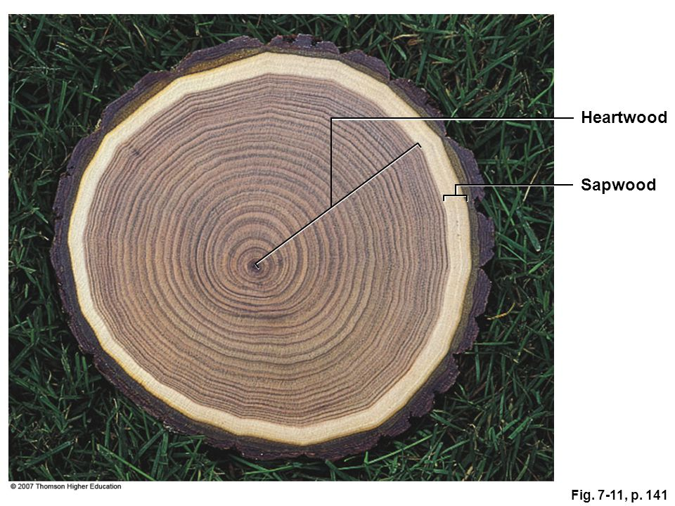 Heartwood Sapwood Fig. 7-11, p. 141