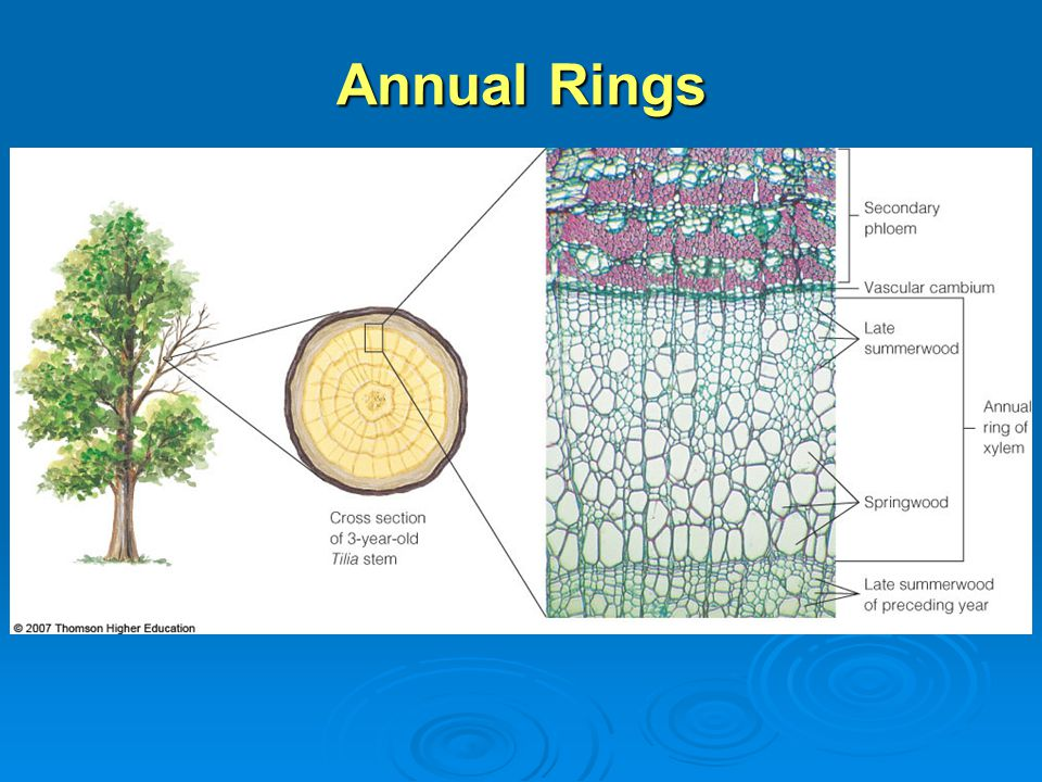 Plant organs stems chapter ppt video online download 47 annual rings ccuart Images