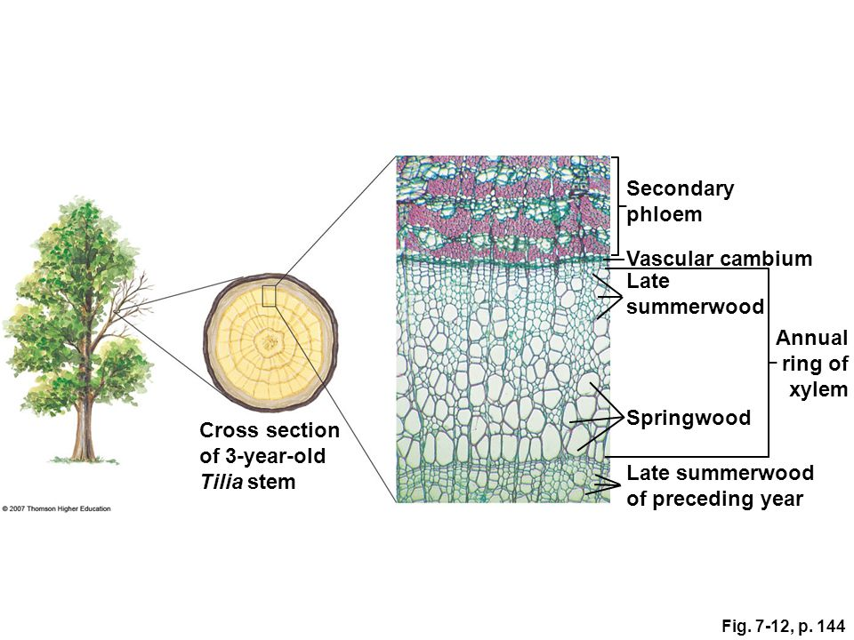 Secondary phloem Vascular cambium Late summerwood Annual ring of xylem