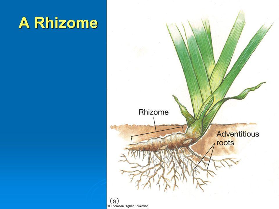 A Rhizome
