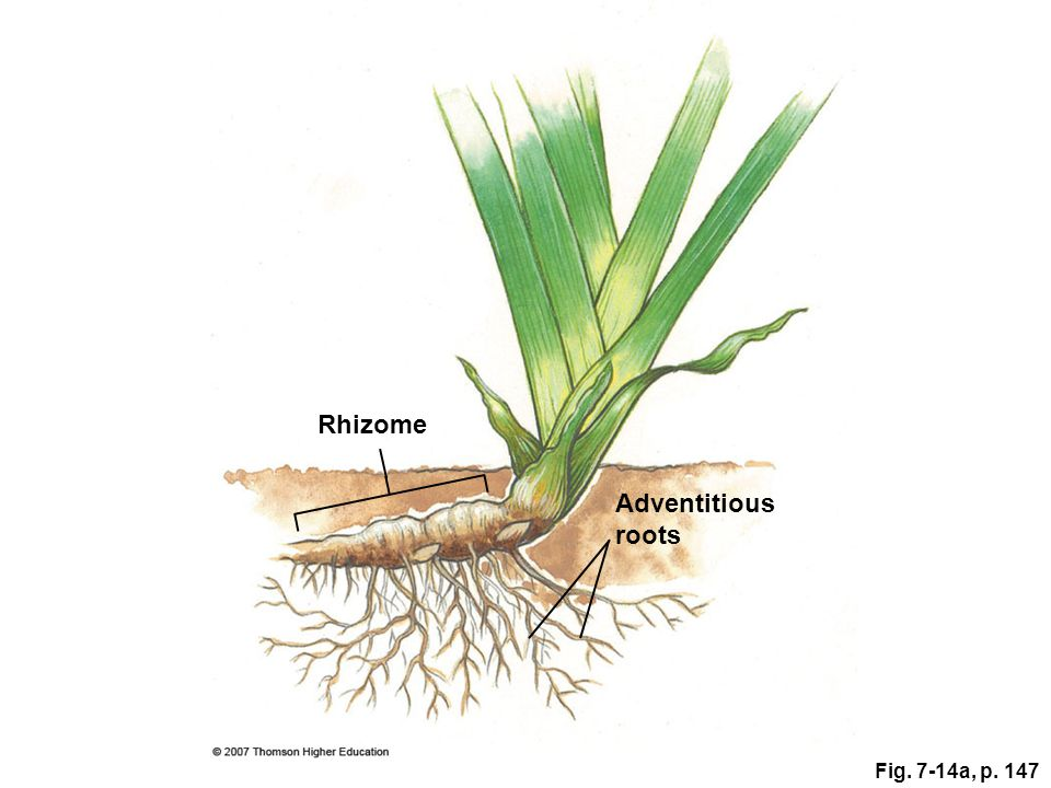 Rhizome Adventitious roots Fig. 7-14a, p. 147