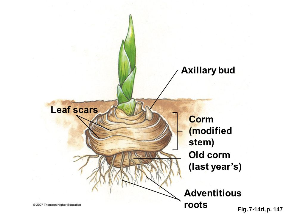 Axillary bud Leaf scars Corm (modified stem) Old corm (last year's)