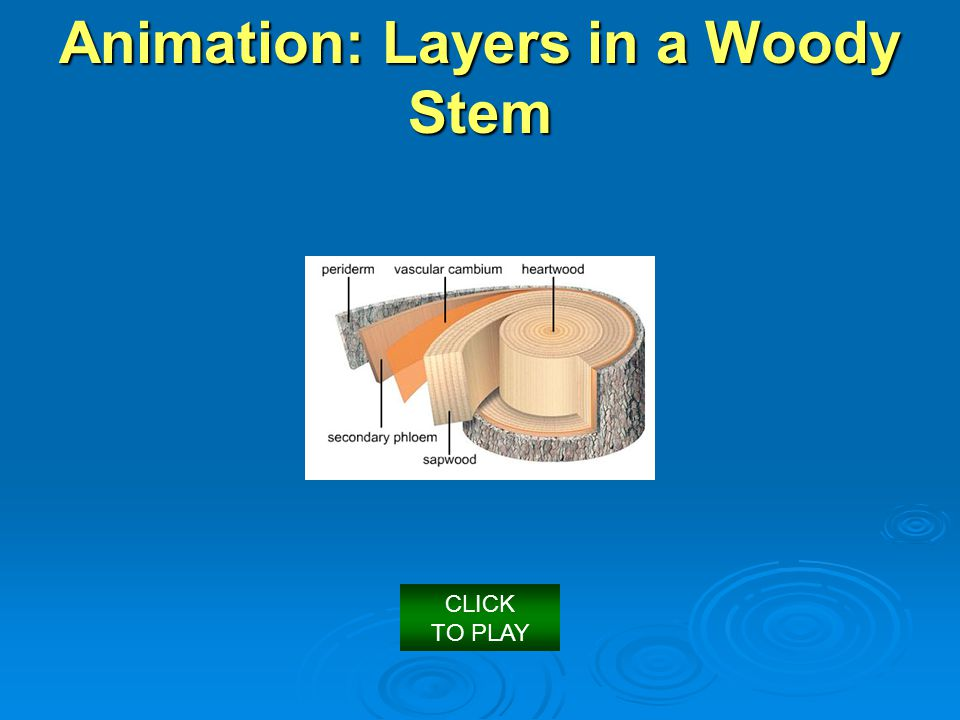 Animation: Layers in a Woody Stem