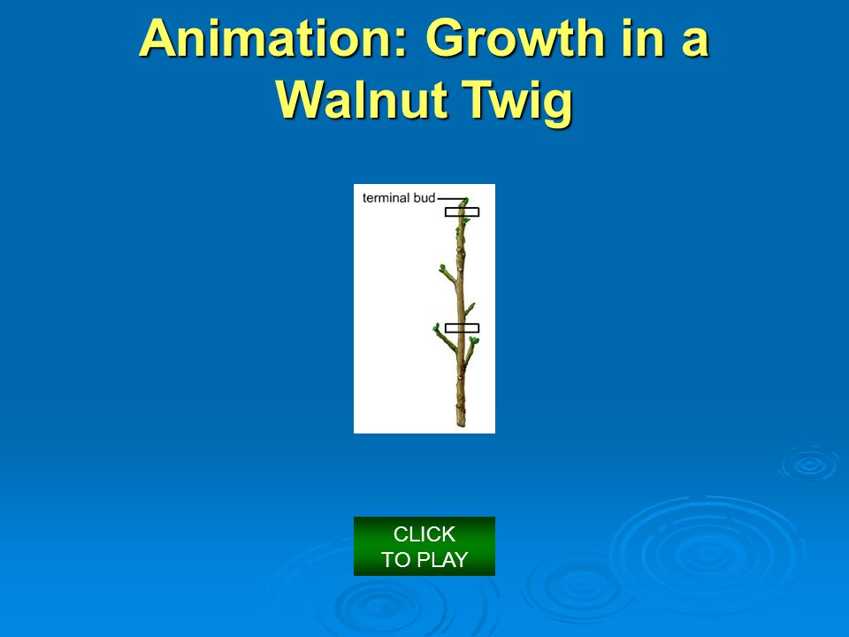 Animation: Growth in a Walnut Twig