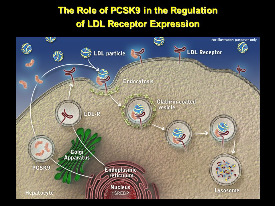 The Role of PCSK9 in the Regulation of LDL Receptor Expression