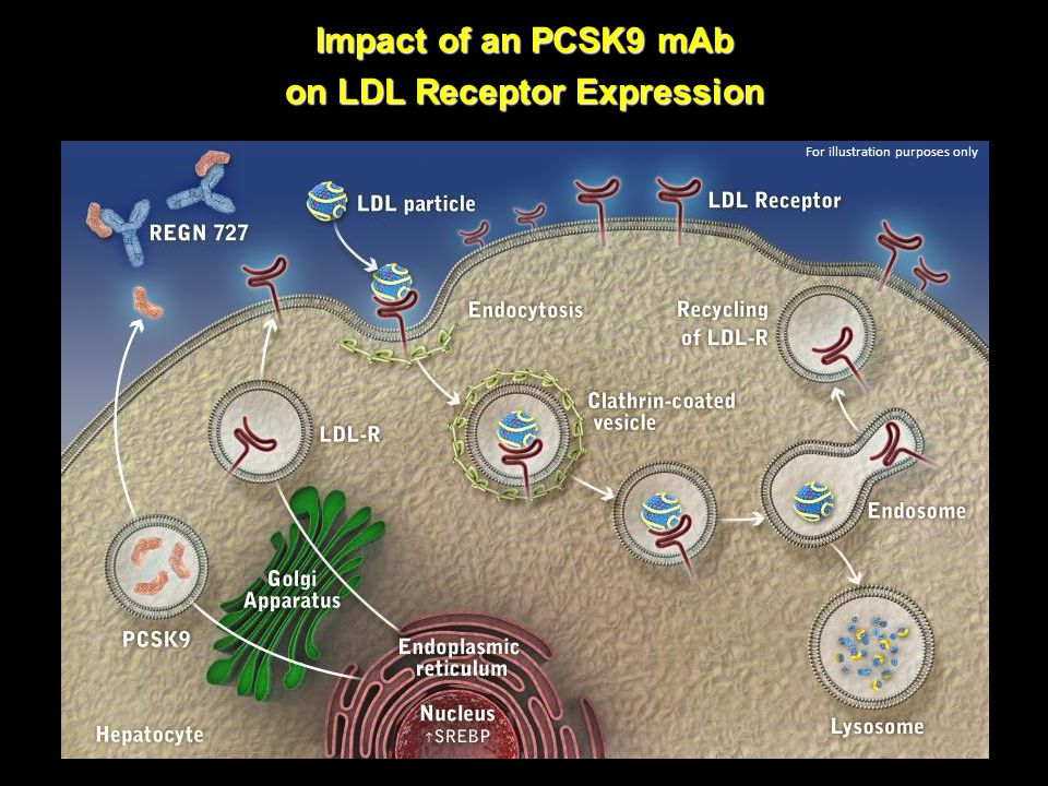 Impact of an PCSK9 mAb on LDL Receptor Expression