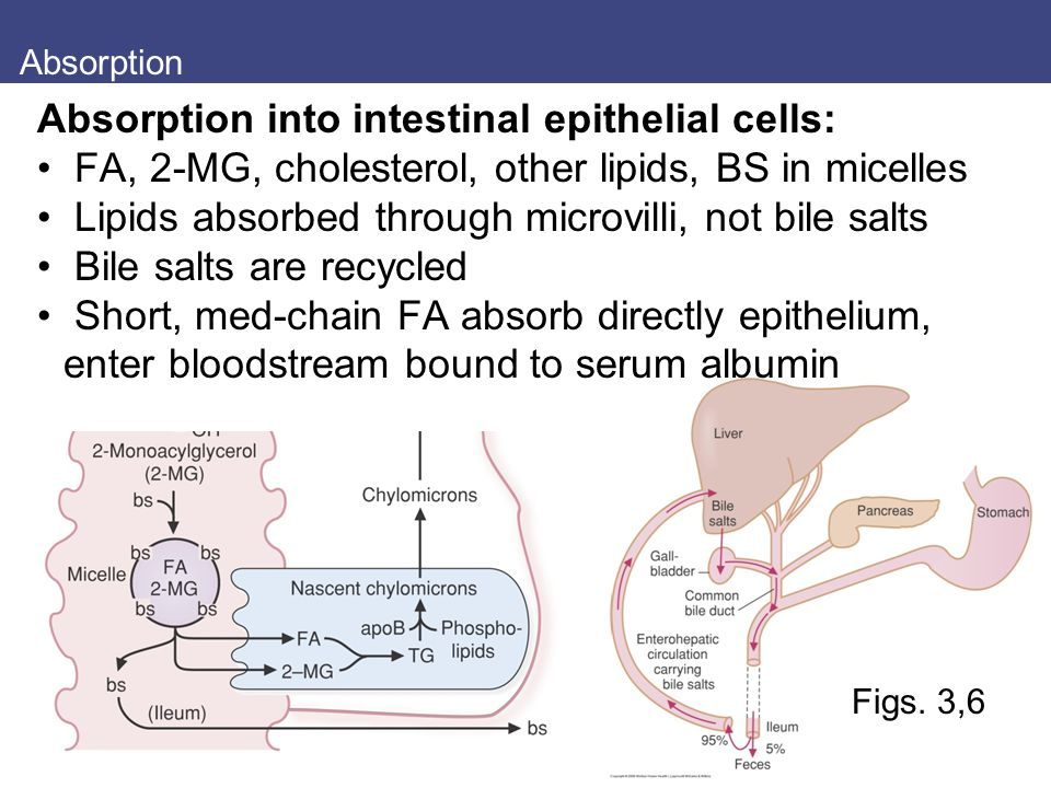 Absorption into intestinal epithelial cells: