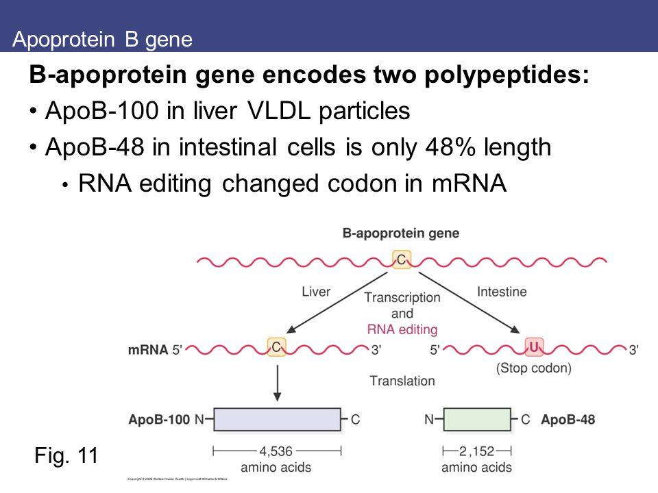 B-apoprotein gene encodes two polypeptides: